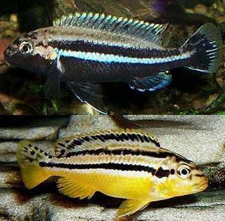 melanochromis_auratus.jpg